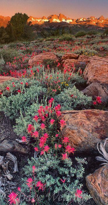 Flowering pink Lemmon's Paintbrush (castilleja lemmonii) leading to the Minarets of the eastern Sierras of California •