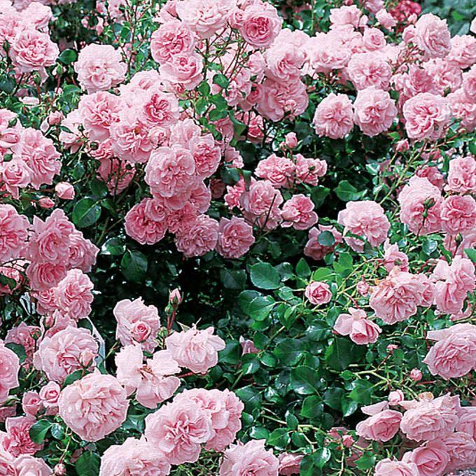 Viherpeukalot-ruusu 2007 - Viherpeukalot  on kestävä, pensasmainen ruusu. Se sopii kasvutapansa ansiosta kasvatettavaksi myös peittoruusuna. Keskisuuret kukat ovat vaaleanpunaiset ja tiheän kerratut.  Kukinta: jatkuva Kasvukorkeus: n.80 cm Kasvupaikka: aurinkoinen Talvenkesto: kestävä