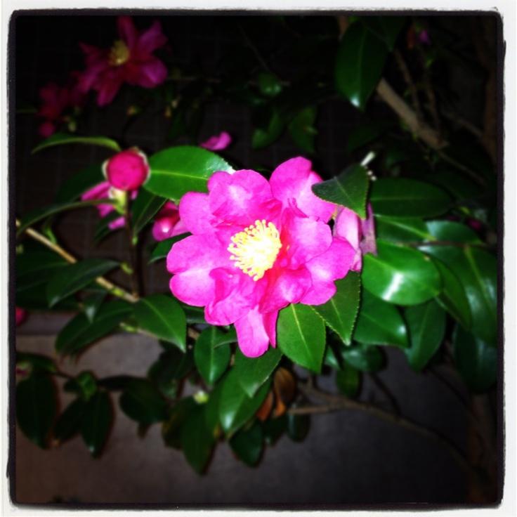 -Sazanka- Camellia sasanqua.