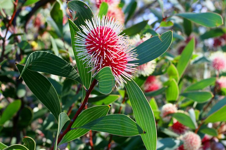 Image result for Hakea laurina