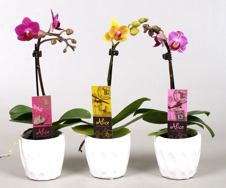 Mini Phalaenopsis Orchid of Alice Adventures. Sweet and colourfull.
