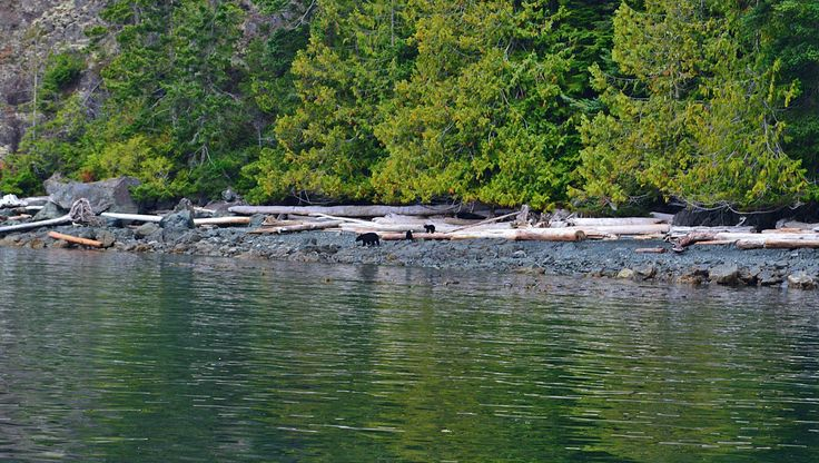 Mother Black Bear with her two playful little cubs was only one of the wildlife sightings you can see while visiting the Johnstone Strait
