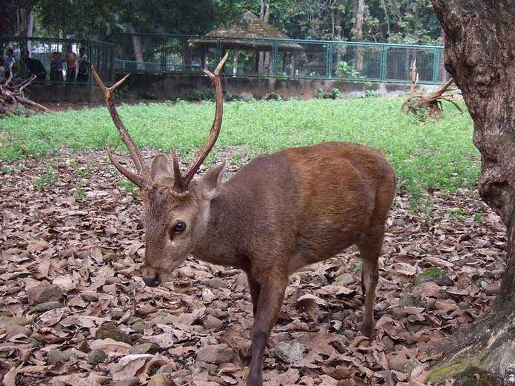 Rusa Bawean merupakan jenis rusa yang pada saat ini hanya bisa di jumpai di Pulau Bawean yang ada di tengah Laut Jawa. Dimana secara administratif Pulau Bawean berada di kawasan Kabupaten Gresik, Jawa Timur. Rusa Bawean memiliki nama latin Axis Kuhlii. Jenis rusa ini termasuk langka dan telah di klasifikasikan oleh IUCN sebagai salah satu spesies terancam punah.
