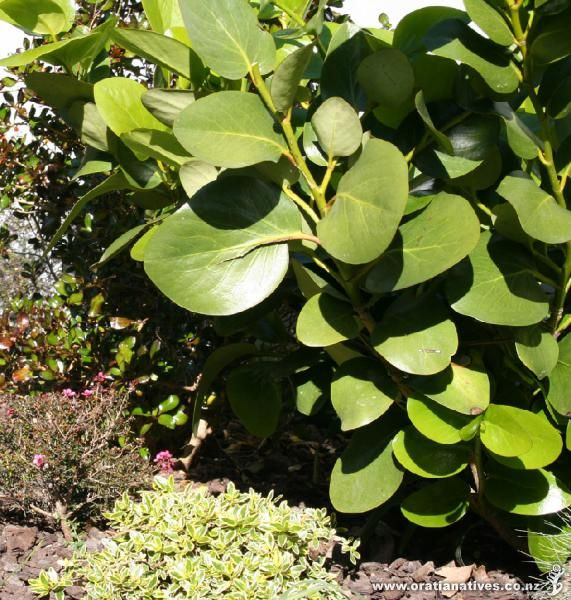 Griselinia lucida - Akapuka - better for AKL humidity than the species version…