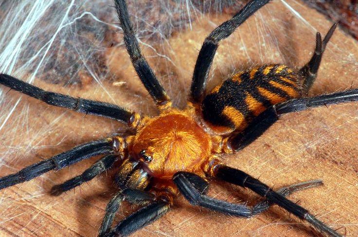 Aranha-tigre (Linothele fallax) encontrada na Bolívia; tirando o nome, esta não é uma aranha muito grande, com um abdômen chegando a medir cerca de 4 cm. Elas constroem tocas com suas teias de seda, e, embora não se saiba ao certo se o veneno desta aranha cause danos ao ser humano, o mais prudente é se manter longe.