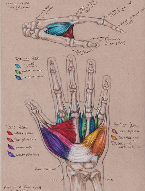 Muscles of the Hand-This is my kind of nerdiness. I totally wish I would have had this in school. It's beautiful!