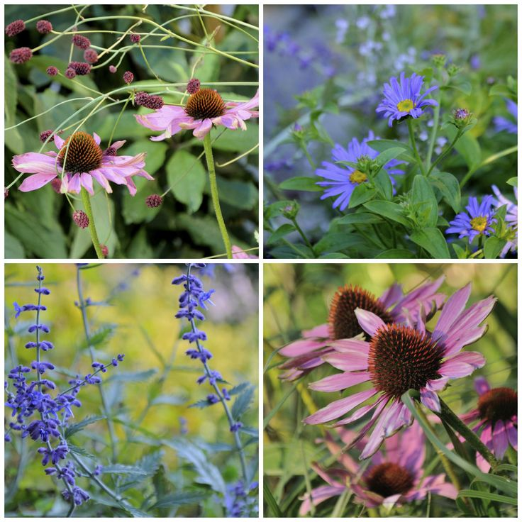 Förläng säsongen med en vacker sensommarrabatt som blommar långt in i september. Aster, röd solhatt, blodtopp, höstanemon och mycket annat i härliga kombinationer. Och så prydnadsgräs...