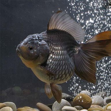 314 best images about GOTTA LOVE FANTAIL GOLDFISH. on ...