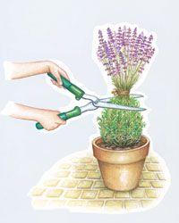 Lavendel schneiden - Mein schöner Garten; 1/3 Rückschnitt nach Blüte; 2/3 im Frühjahr