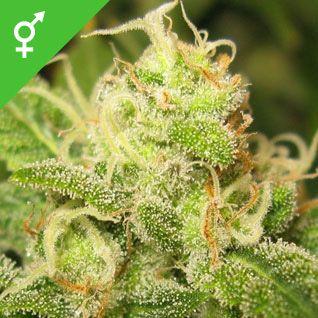 Ice Seeds. Ice is an Indica-Sativa cannabis hybrid with a very heavy yield. Indoors, this cannabis variety works well in both hydro and soil systems. Ice will also grow happily outdoors in regions with a Mediterranean climate.