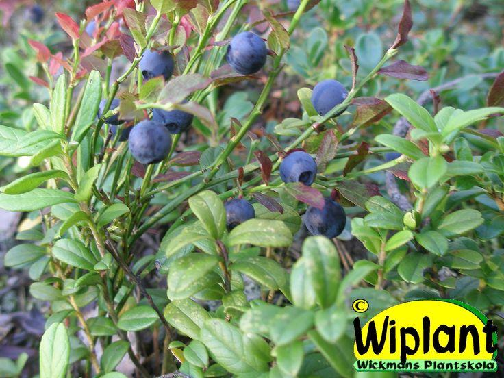 Vaccinum, blåbär. Planteras soligt i jord med lågt pH.