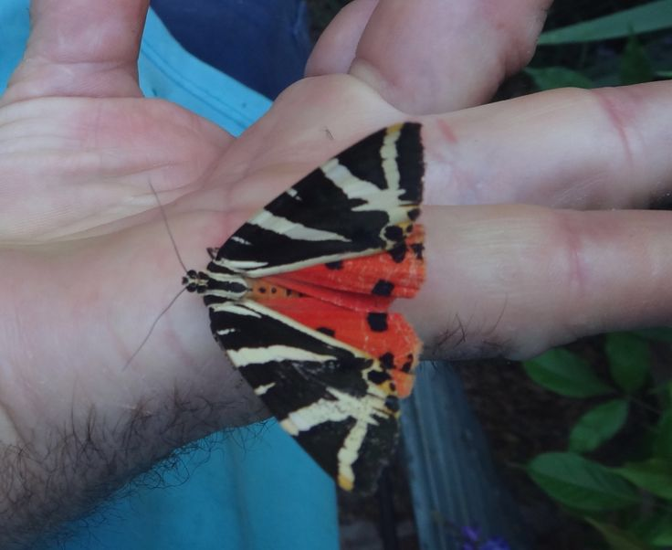 Found this wonderful Tiger Moth flitting about this morning. Probably has a few Friesian genes in him.