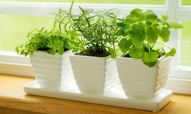 Plantas aromáticas fáciles de cultivar