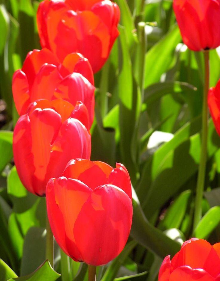 Dropbox - my tulips to yours.jpg