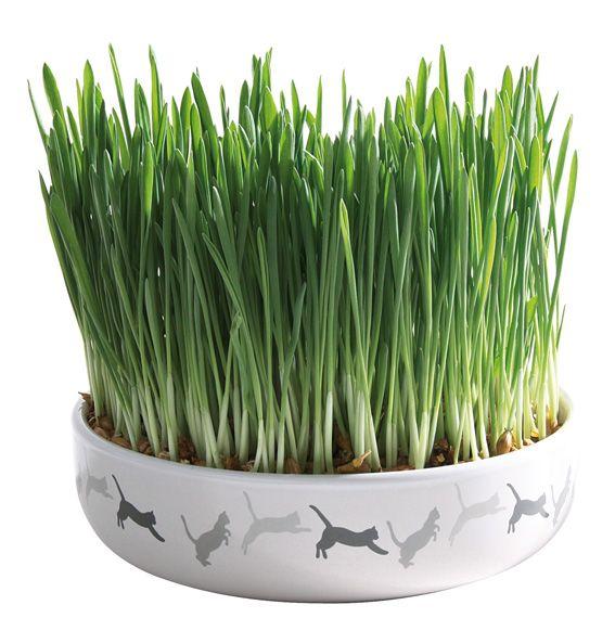Kattgräs i keramikskål  | SweCat