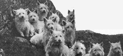 Col. Malcom's eleven Westies among the first pure white of the breeding process.