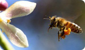 Polen de abeja propiedades y beneficios