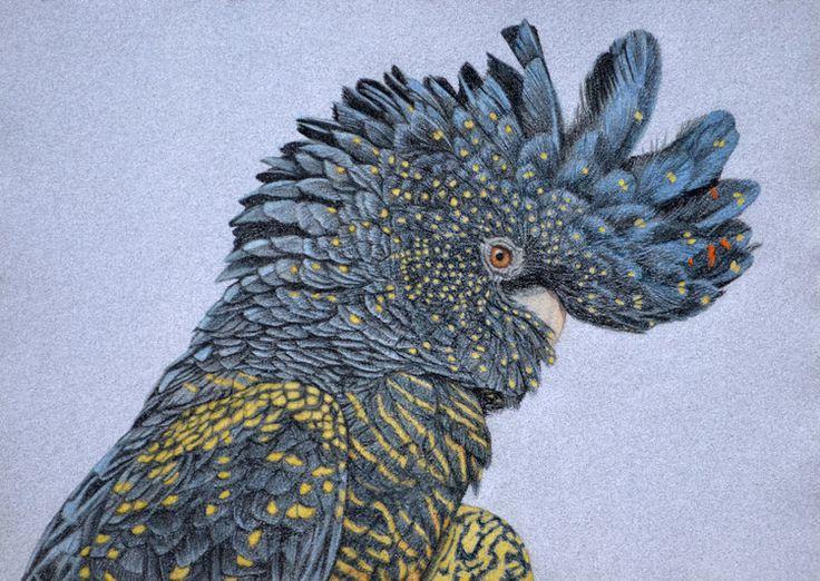 red-tailed-black-cockatoo-2-drawing-rachel-newling.jpg