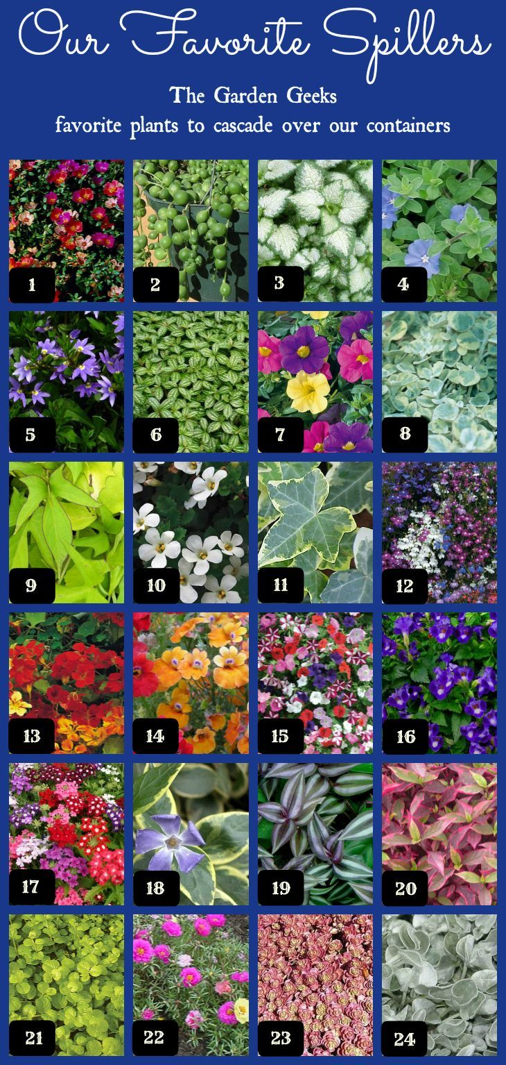 The Garden Geeks Favorite container spillers - 1. Purslane 2. String of Pearls 3. Deadnettle 4. Dwarf Morning Glory 5. Fan Flower 6. Pilea 7. Calibrachoa 8. Licorice Vine 9. Sweet Potato Vine 10. Bacopa 11. Ivy 12. Lobelia 13. Nasturtium 14. Nemesia 15. Petunia 16. Torenia 17. Verbena 18. Vinca 19. Zebrina 20. Alternanthera 21. Creeping Jenny 22. Moss Rose 23. Sedum 24. Dichondra