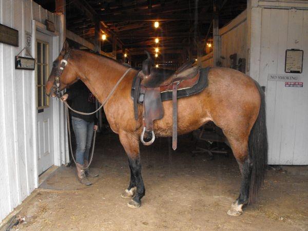 9yo Bay Roan Quarter Horse Mare 1500 Owingsville Ky