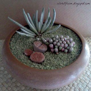 Elegant little bowl of 3 interesting little succulents…..