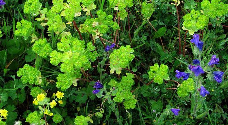 Γαλατσίδα-Euphorbia helioscopia