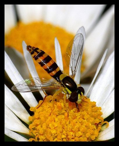 Hoverfly - 'good guy' in gardens and are especially common where aphids are present. That's because the female hover fly lays her eggs near aphid colonies, the eggs hatch in two or three days, and the hover fly larvae immediately begin feeding on the aphids as they hatch.