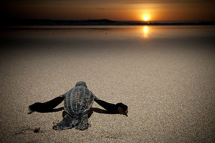 An infant leatherback turtle pulls itself along the beach toward the sea at Playa Grande, Costa Rica. Despite decades of conservation efforts, leatherbacks in the east Pacific have declined by 90% in the past 20 years due to egg consumption and bycatch. Coastal development looms as the next threat to their survival