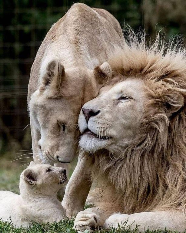 Family Time : aww #BigCatFamily look at dad's face, then tell me that he doesn't have a soul.