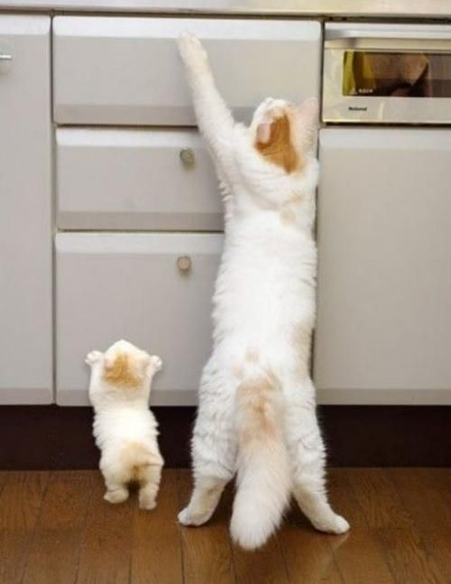 Just like mommy!: Copy Cat, Copycat, Tops Drawers, Mothers, Sons, Baby Animal, Daughters, Kittens, Baby Cat