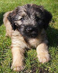 Catalan Sheepdog Puppy at 12 weeks