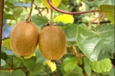 Kiwi  L' Actinidia chinensis / Actinidia deliciosa (noto con il nome del suo frutto, il Kiwi) è una pianta rampicante a foglia caduca grande, color verde. Fruttifica durante l'estate dopo la fioritura bianco crema, con frutti chiamati Kiwi di forma ovoidale oblunga, con buccia marroncina, pelosa che maturano in autunno/inverno.