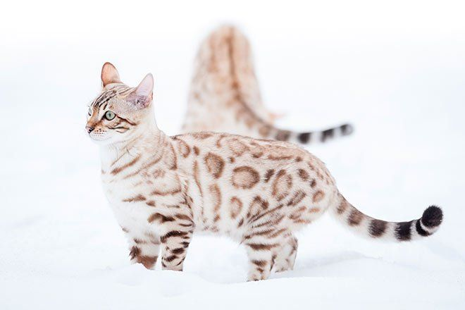 The Snow Bengal Cat With Images Bengal Cat Cat Playing