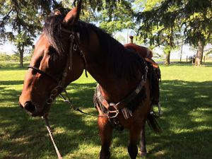 9 yr old Registered Paint Gelding