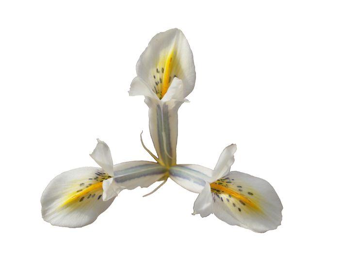 Reticulata Iris: 03-FQ-1