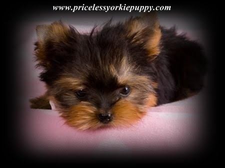 """We believe whole-heartedly here at Priceless Yorkie Puppy that YOU DO GET WHAT YOU PAY FOR! I strive for healthy, small, yet structured Yorkies not runts. """"We are proud of our quality Yorkies and will not negotiate our prices -NO exceptions. Thanks for understanding! We believe completely that our Yorkie puppies speak for themselves here at Priceless Yorkie Puppy."""