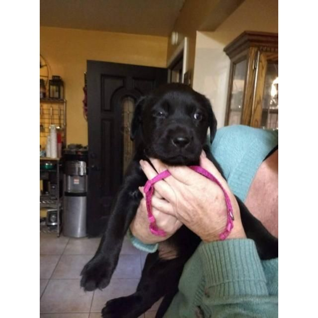Pin On Lab Puppies For Sale
