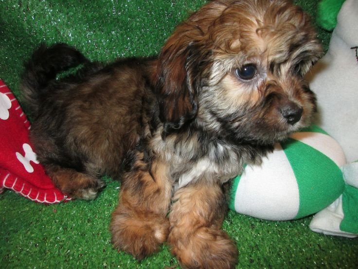 Cavanese Puppies For Sale Cavalier King Charles Spaniel X