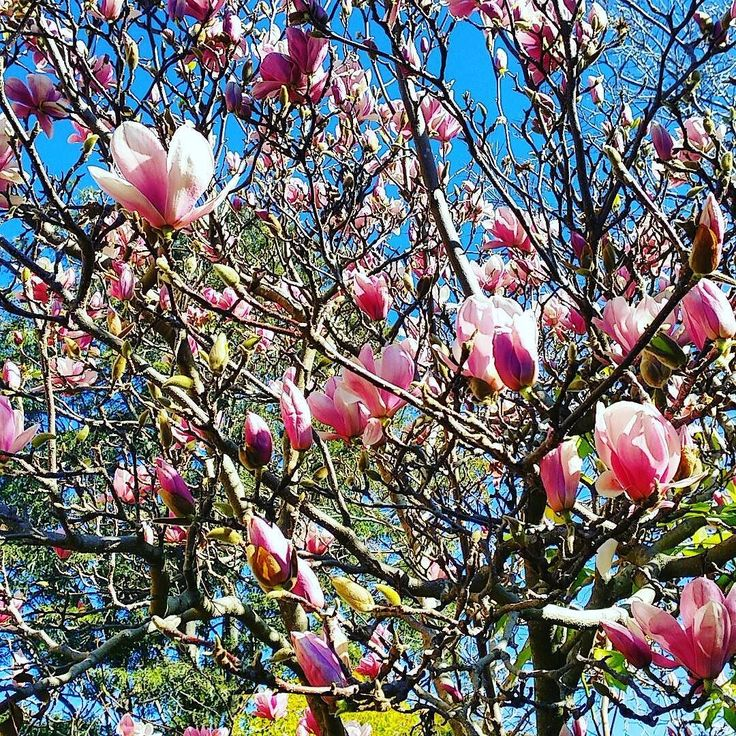 I think this is a #magnolia tree  #flowers #winter #wollongong #lookup #nature