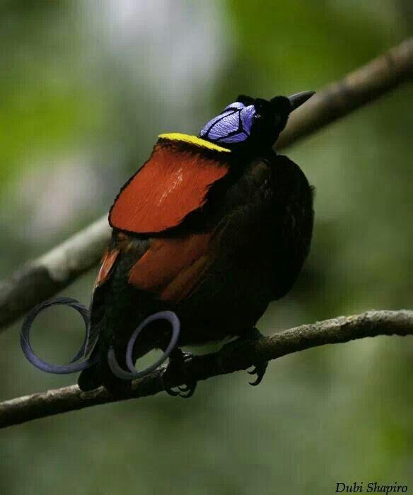 Paradise Island  Gelbe Papageien
