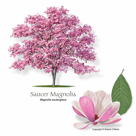SAUCER MAGNOLIA Magnolia × soulangiana   General Notes      Utility friendly tree. Saucer Magnolia is a popular flowering accent tree, usual...