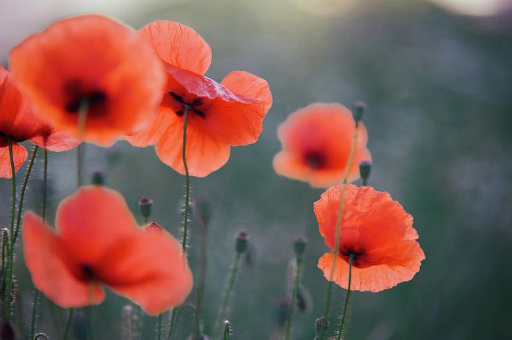Red Poppies Remembrance 1 by Jenny Rainbow