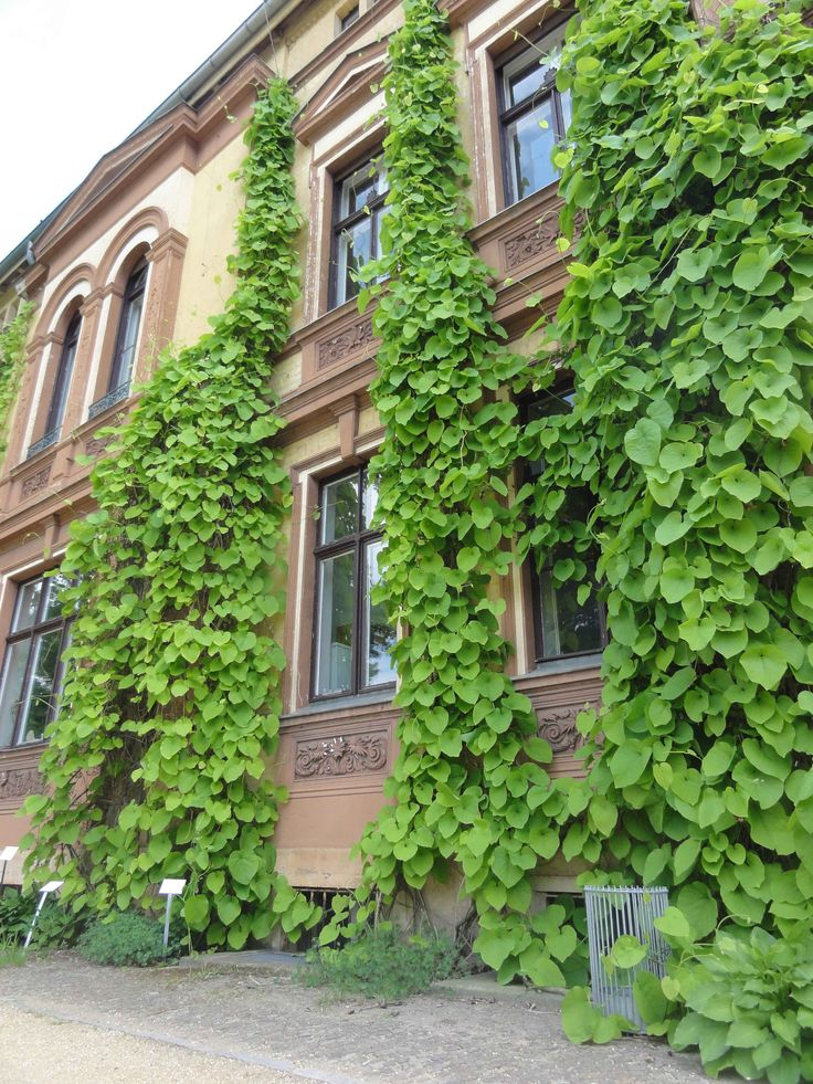 Duitse pijp (Aristolochia)  is een snelle groeier. Deze gevel is binnen enkele jaren omgetoverd tot een haast tropisch aandoende massa ranken en blad.