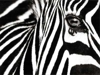 i cuWall Art, Posters Prints, Black And White, White Ii, Art Prints, Black White, Art Posters, Zebras Prints, Blackwhite