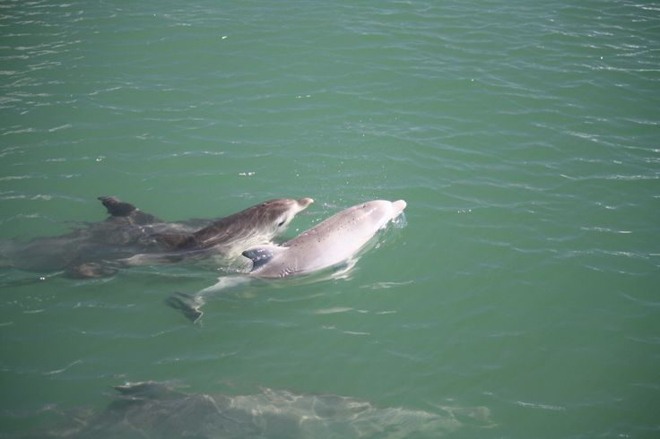 Two baby dolphins born a few weeks apart in February 2011 in Mandurah and were often seen playing together. The pale baby is the youngest of the two.