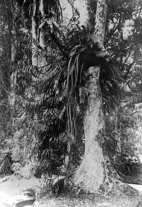 Grammatophyllum speciosum in the Bogor Botanical Gardens