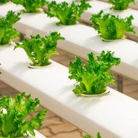 Are you thinking of starting your own hydroponics garden? There are a variety of ways you can use this technique. When it comes to DIY hydroponics, you can afford to choose between very simple techniques and complex ones. It all depen