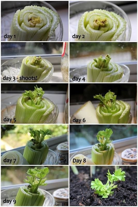Grow your own celery from leftover stalk. Don't throw your celery stock away, Grow more celery. Amazing, free, delicious and good for you. Organic of course.