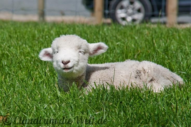 Cutest Sheep ever! Hobbiton, North Island, #NZ
