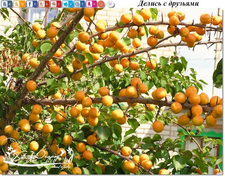 Чтобы рос абрикос!  Абрикос – дерево, дающее самые сочные, сладкие и вкусные плоды. Абрикос растет практически на каждом садовом участке, но не у всех х... - Сад огород - Google+